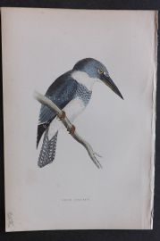 Morris 1870 Antique Bird Print. Belted Kingfisher